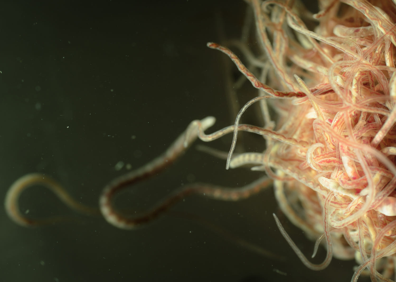 Parazit-lentochnogo-chervya-v-nashem-mozgu